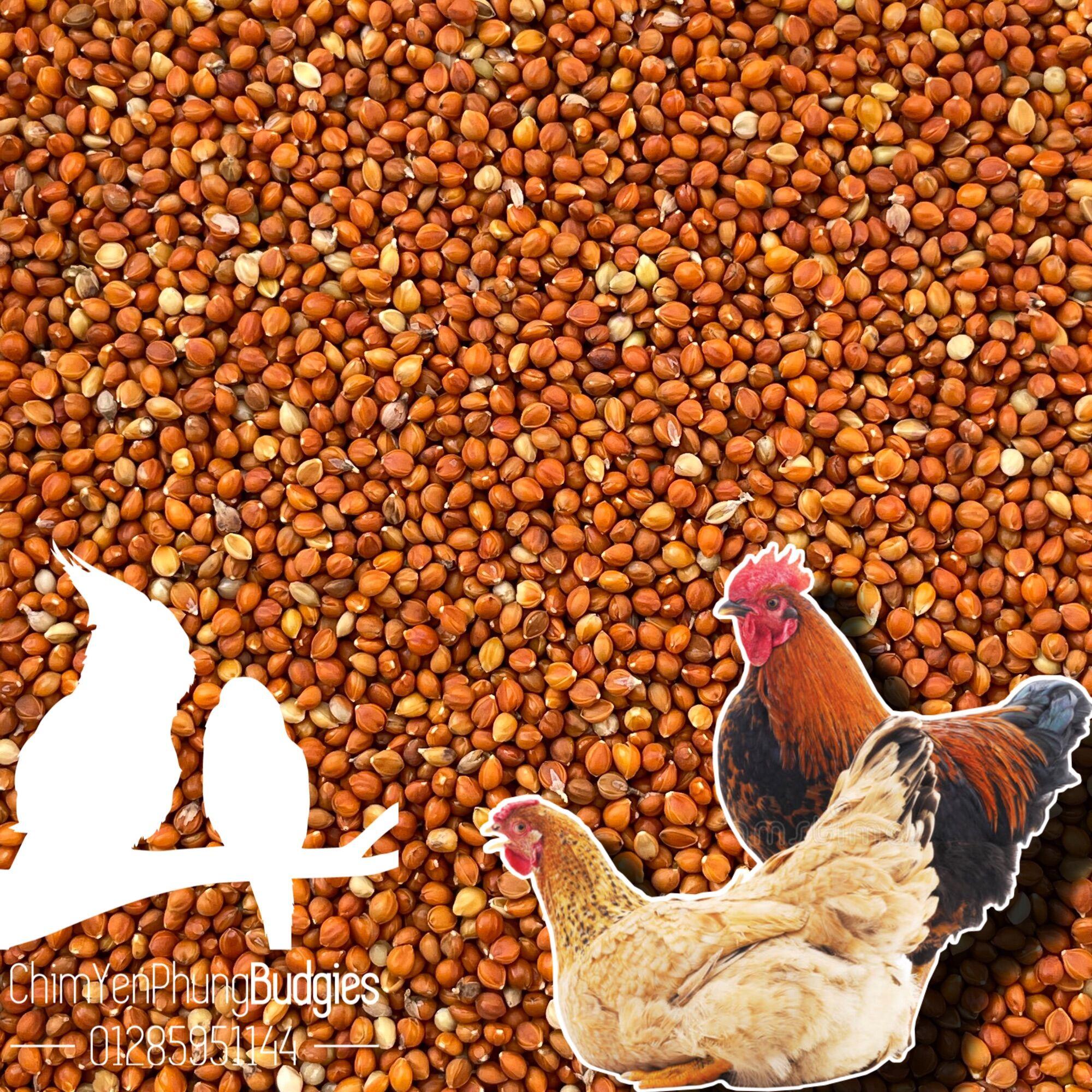 1kg hạt kê đỏ nhỏ Hà Nội (thức ăn chim yến • gà kiểng • cu gáy...)
